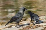 Jackdaw Corvus monedula kavka_MG_6235-11.jpg