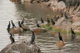 Pygmy cormorant Phalacrocorax pygmeus pritlikavi kormoran_MG_6448-11.jpg