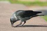 Jackdaw Corvus monedula kavka_MG_6263-11.jpg