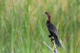 Pygmy cormorant Phalacrocorax pygmeus pritlikavi kormoran_MG_37681-11.jpg