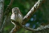 Pygmy owl Glaucidium passerinum mali skovik_0024-11.jpg