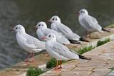 Black-headed gull Chroicocephalus ridibundus rečni galeb_MG_6387-11.jpg