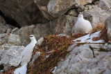 Pair of ptarmigan par belk_MG_2508-11.jpg