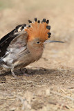swift_hoopoe_sandgrouse_woodpeckers