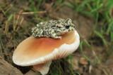Green toad Pseudepidalea viridis zelena krastača_MG_5366-11.jpg