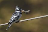 Pied kingfisher Ceryle rudis črnobeli pasat_MG_7596-111.jpg