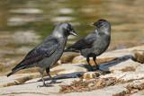 Jackdaw Corvus monedula kavka_MG_6231-11.jpg