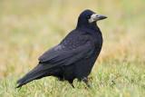 Rook Corvus frugulegus poljska vrana_MG_8938-111.jpg