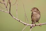 House sparrow Passer domesticus domači vrabec_MG_8066-111.jpg
