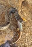 Balkan whip snake with lizard belica s kuščarico_MG_0704-11.jpg