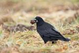 Rook Corvus frugilegus poljska vrana_MG_8903-11.jpg