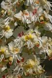 Common horse-chestnut Aesculus hippocastanum divji kostanj_MG_2812-1.jpg