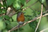 Robin Erithacus rubecula ta¹èica_MG_3015-1.jpg