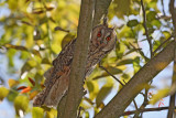 Long-eared owl Asio otus mala uharica_MG_5264-11.jpg