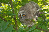 Young Long-eared owl mladiè male uharice_MG_5232-111.jpg