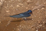 Barn swallow Hirundo rustica kmečka lastovka_MG_5053-1.jpg