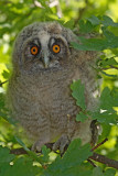 Young Long-eared owl mladiè male uharice_MG_5291-1.jpg