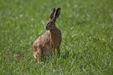 Brown hare Lepus europaeus poljski zajec_MG_5592-1.jpg