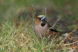 Hawfinch Coccothraustes coccothraustes dlesk_MG_5557-1.jpg