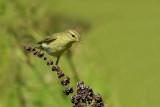 Willow warbler Phylloscopus trochilus severni kovaček-0080-11.jpg
