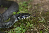Grass snake Natrix natrix belou¹ka_MG_6720-1.jpg