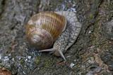 Roman snail Helix pomatia veliki vrtni pol¾_MG_6192-1.jpg