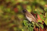 Common bulbul Pycnonotus barbatus bulbul_MG_8646-11.jpg