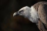 Griffon vulture Gyps fulvus beloglavi jastreb_MG_8091-1.jpg