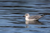 Black-headed gull Larus ridibundus reèni galeb_MG_2557-1.jpg