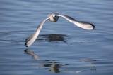 Black-headed gull Larus ridibundus reèni galeb_MG_2521-1.jpg