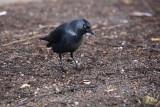 Jackdaw Corvus monedula kavka_MG_3915-1.jpg