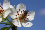 Common pear and bee hru¹ka in èebela_MG_7850-1.jpg