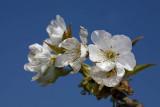 Cherry Prunus avium èe¹nja_MG_7976-1.jpg