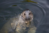 Grey seal Halichoerus grypus sto¾èastoglavi tjulenj_MG_9624-1.jpg