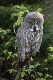 Great gray owl Strix nebulosa  bradata sova_MG_9608-1.jpg