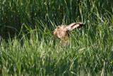 Brown hare Lepus europaeus poljski zajec_MG_0239-1.jpg