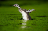 Great Crested Grebes at the Ruhr River