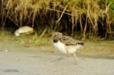 Oystercatcher Chick