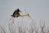 Grey Heron With Branches