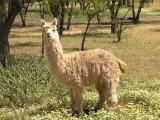alpaca meadow..