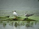 Forster's and Black Terns