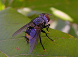 Tachinid Fly (Belvosia species)