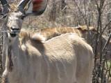 Kudu lady