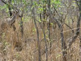 Male Kudu, well hidden