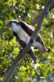 Osprey on the Snake River