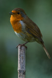 Robin on a cane