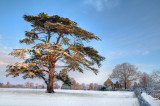 Cedar in the snow, Martock (2016)