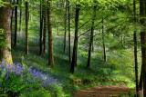 Bluebell wood, Bulbarrow Hill (3209)