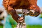 Orangutan chewing a sack!