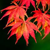 Acer leaves , Stourhead